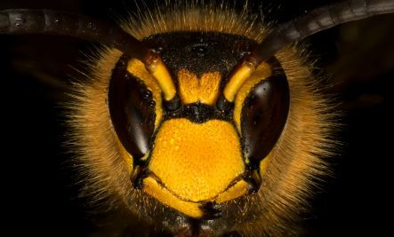 bee vs wasp vs hornet stings different home treatments required