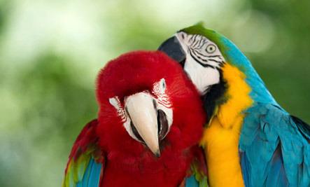 How do parrots talk?