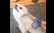 Daily Cute: Puppy Loves to be Groomed