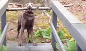 Daily Cute: Clever Dog Solves Problem of Too Big Stick