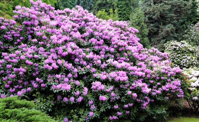 8 Of The Best Spring Flowering Shrubs Care2 Healthy Living