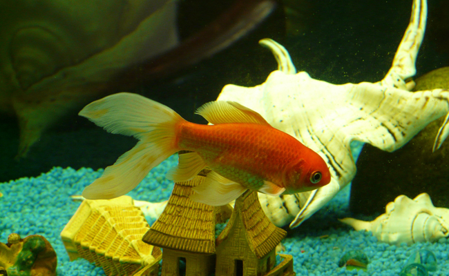 Looking To Adopt A Fish Heres How To Find Pet Fish In Need Of