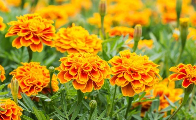 Do Marigolds Really Repel Garden Pests?   Care2 Healthy Living