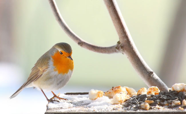 7 Common Food Items Not Good for Backyard Birds - 7 Common Food Items Not Good For Backyard Birds Care2 Healthy Living
