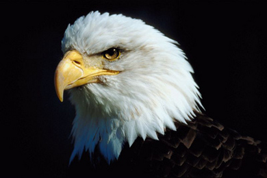 Animal Helper: Eagle | Care2 Healthy Living