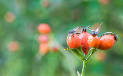 Rose Hip Oil: Wonders for the Skin