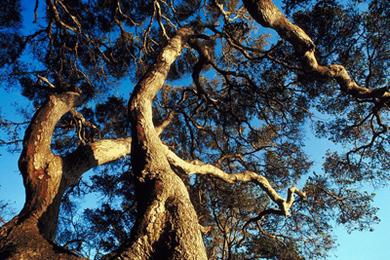Prosperity Help from the Oak Tree