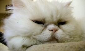 persian cat 2