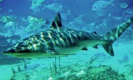 Dusky_shark_seaworld