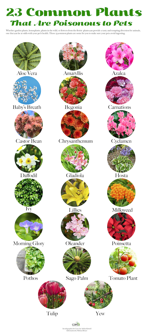 Design Plants Safe For Dogs 23 common plants poisonous to pets care2 healthy living pets