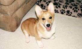 corgi-dog