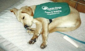 Taking a break from working as a puppy in training for Guide Dogs for the Blind