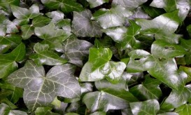 holiday-ivy-foliage