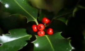 holly-and-berries