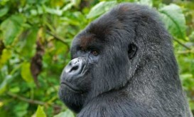 africa-mountain-gorilla