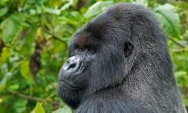 africa-mountain-gorilla