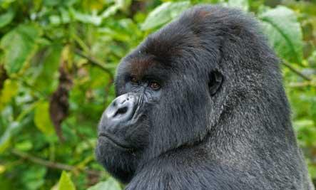 africa-mountain-gorilla.jpg (443×267)