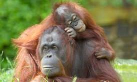 mother-baby-orangutan