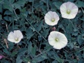 chaparral false bindweed