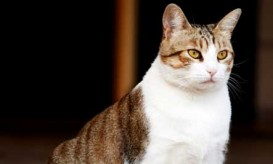 chubby-kitty