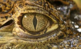 crocodile-eye