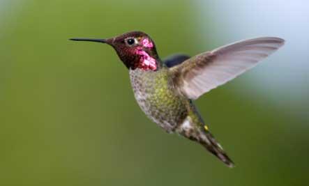 2 Hummingbird Aerial Acrobatics