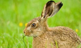 march-hare