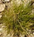 Slender Hairgrass - I just love the name.