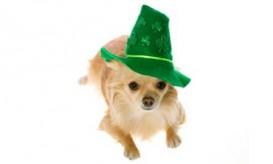 stpatricksday-dog
