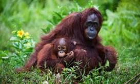 orangutan-mom-baby