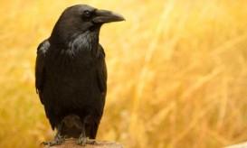 smart-crow