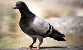smart-pigeon