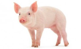smart-piglet