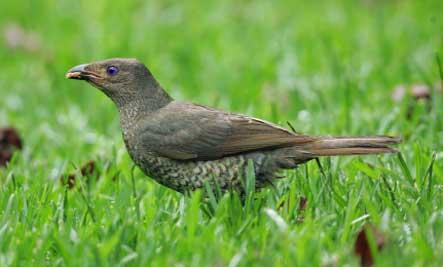 bowerbird-courtship