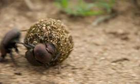 dung-beetle-couple