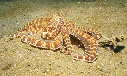 Mimic Octopus Transformation Mimic Octopus