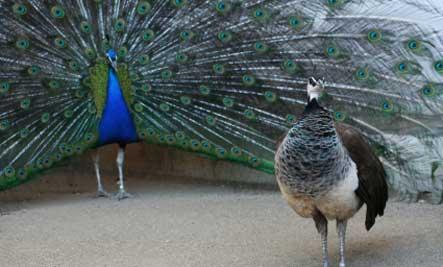 peacock-courtship