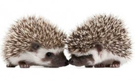 two-hedgehogs