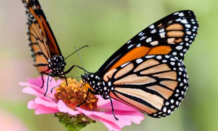 two-monarch-butterflies