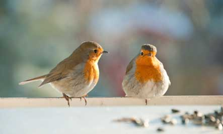 two-robin-birds