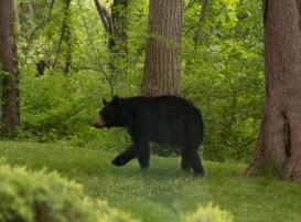 bear-backyard500