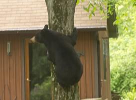 bear-tree500