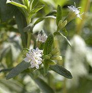 stevia flowering plant