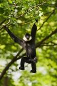 rare-gibbons-2
