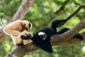 rare-gibbons-4