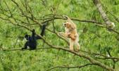 rare-gibbons-5