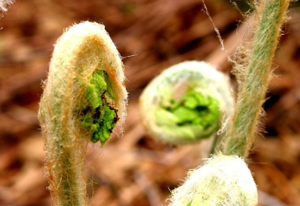 fiddleheads by seanmcgrath of flickr