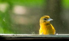 yellow-bird-window