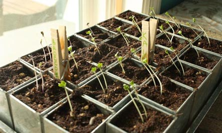sprouting seeds for the garden