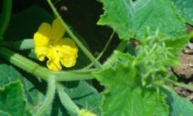Cuccumber flower